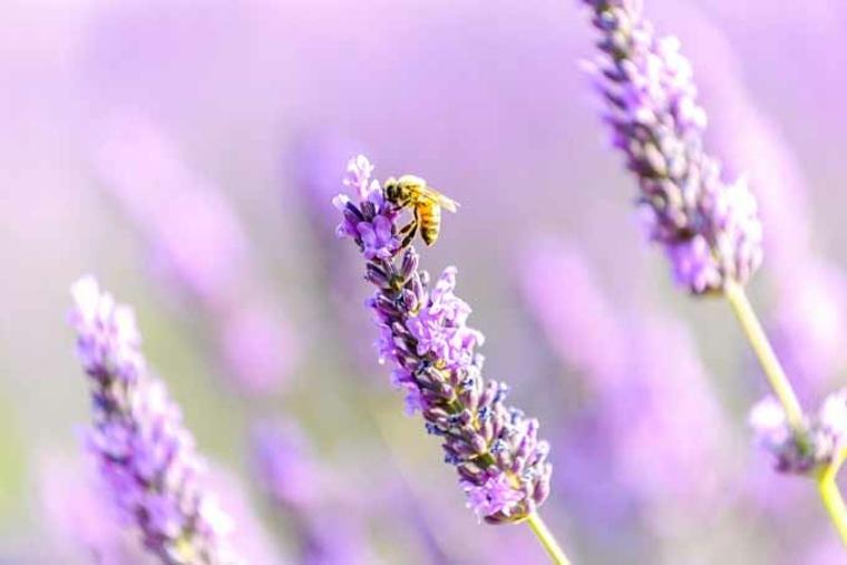 flor-de-lavanda-con-abeja