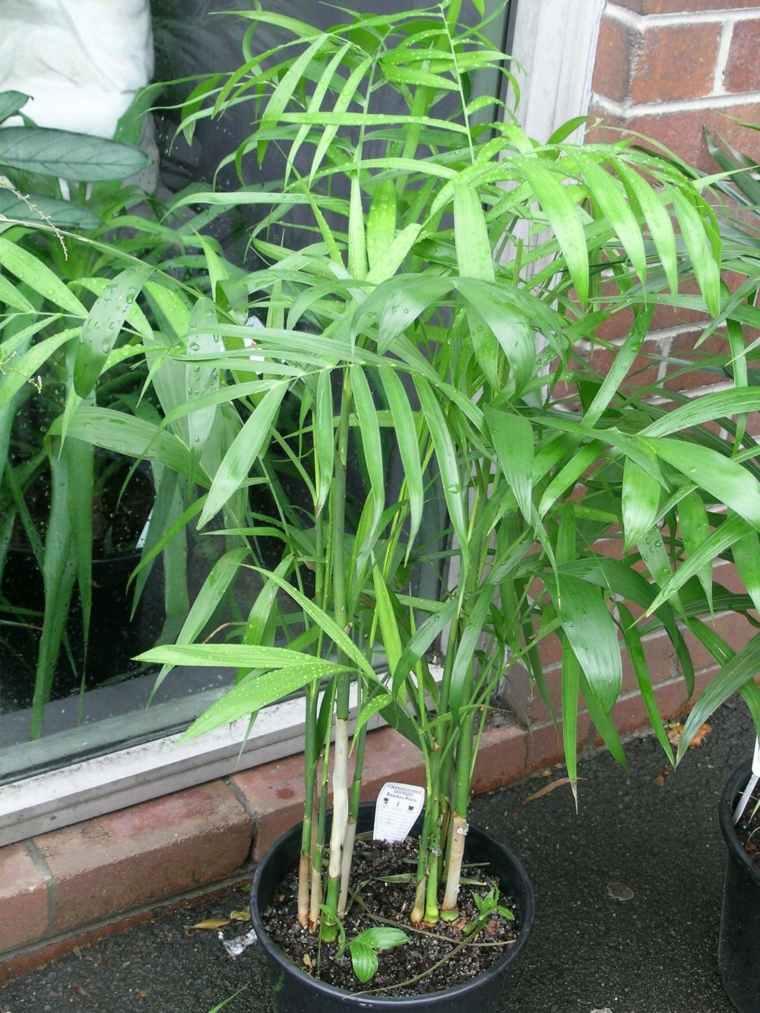 palma-de-bambu-maceta