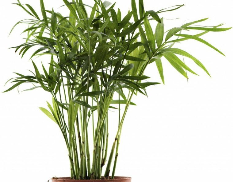 palma-de-bambu