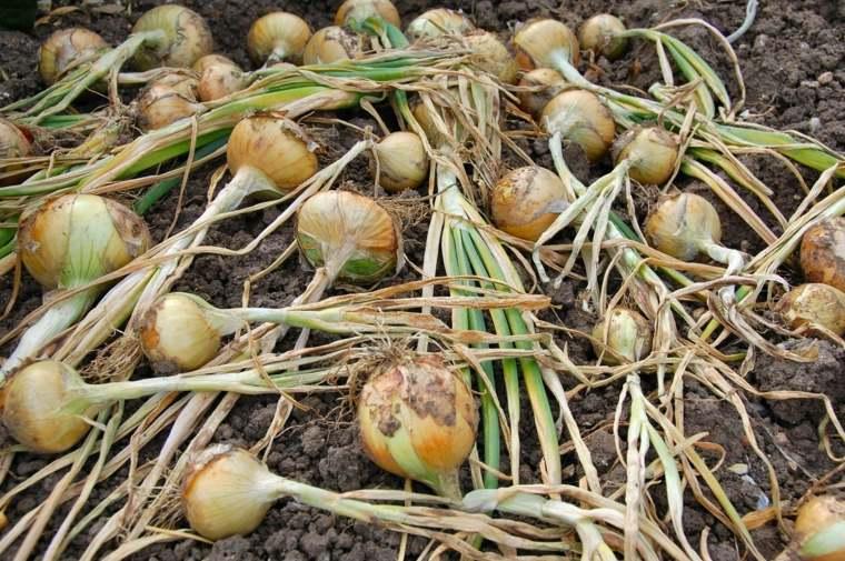 propiedades de la cebolla-plantacion