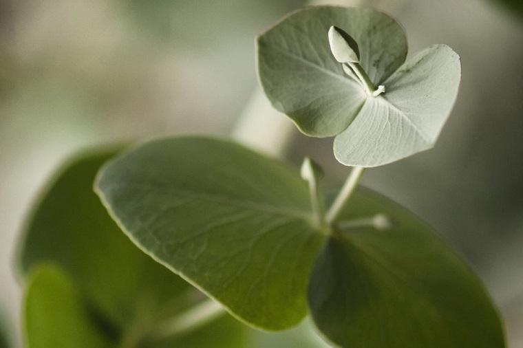 recetas-de-cocteles-hierbas-eucalipto