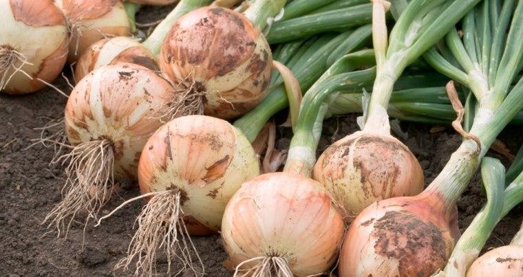 vitaminas de la cebolla-beneficios