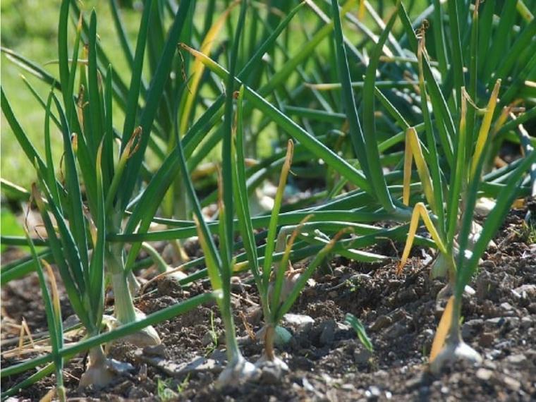 cebollas-picadas-pequenas-plantas