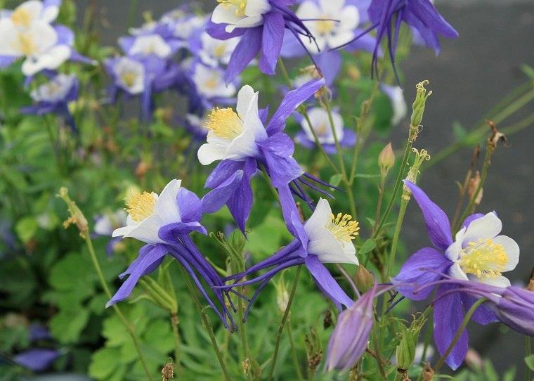 como-tener-uj-jardin-flores-aquilegia-ideas