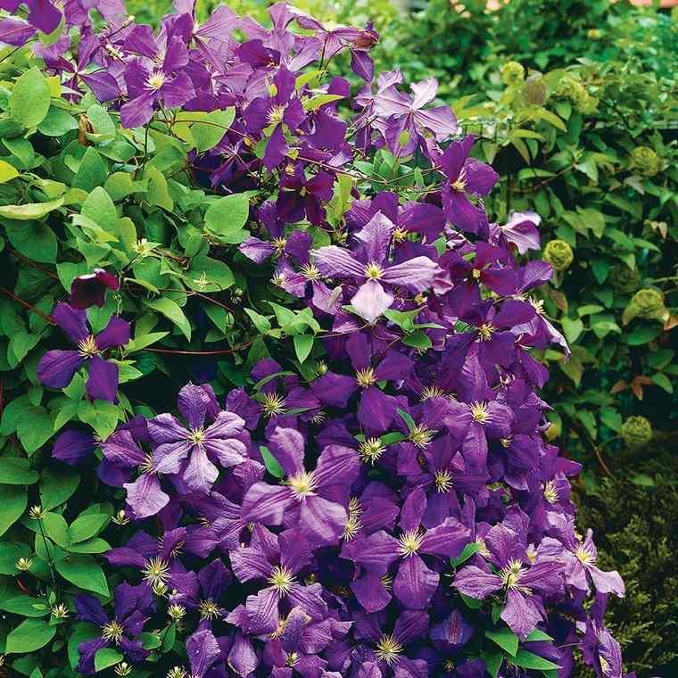 como-tener-un-jardin-clematide-flor-bella-cultivo