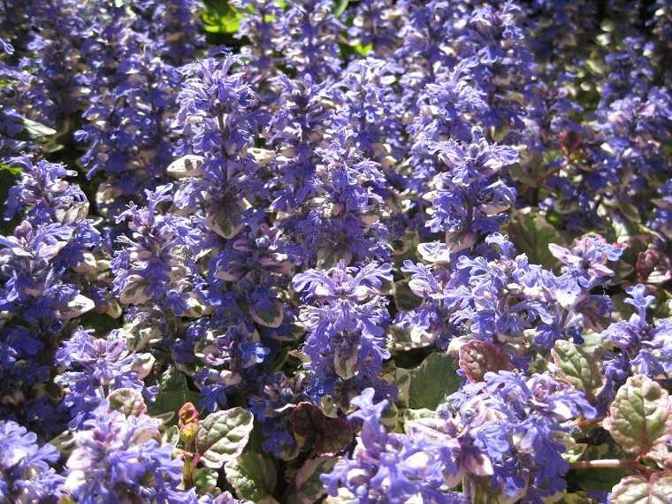 como-tener-un-jardin-flores-bugula-cultivar