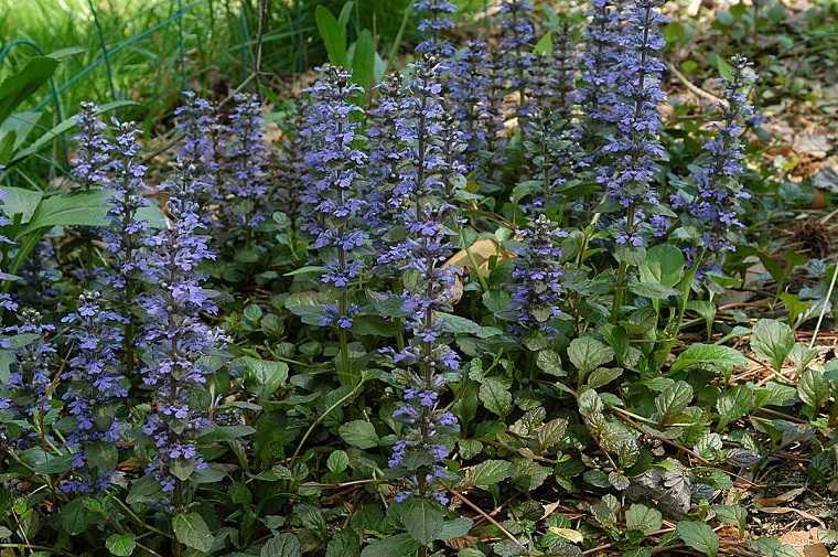 como-tener-un-jardin-flores-bugula