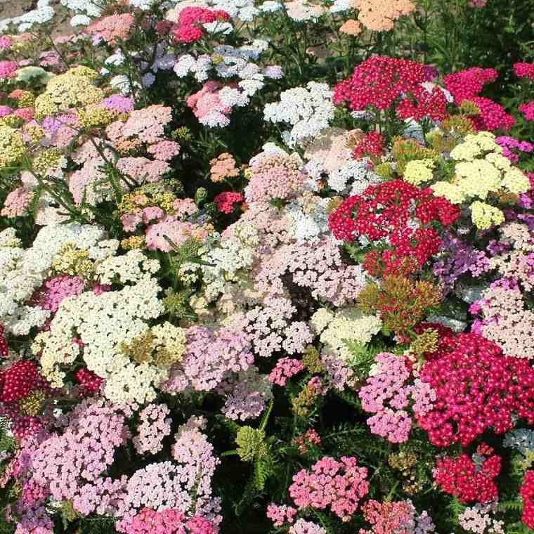 como tener un jardín flores-flor-de-la-pluma-distintos-colores