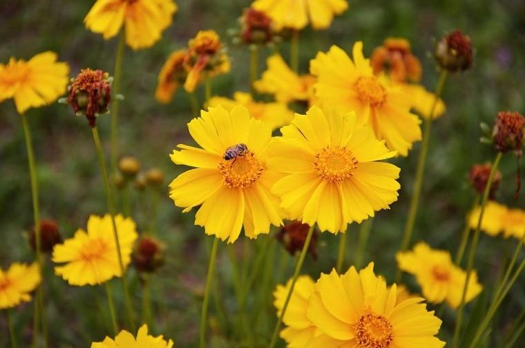 como-tener-un-jardin-planta-coreopsis-amarilla