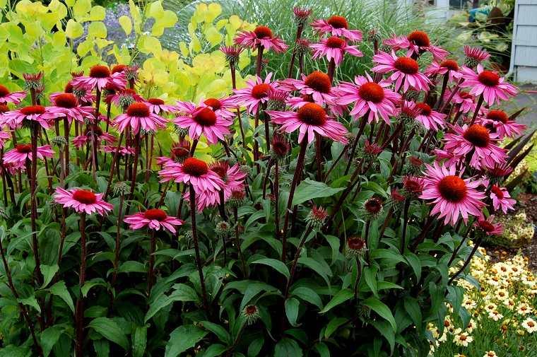 cultivo-flores-equinacea-opciones-consejos-ideas