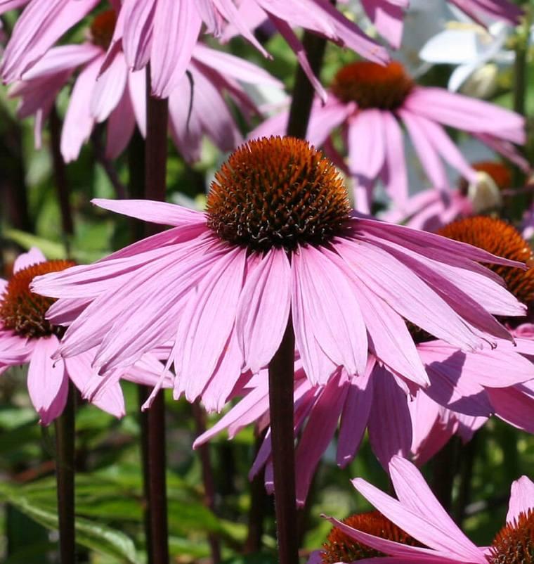 cultivo-flores-equinacea-opciones-consejos