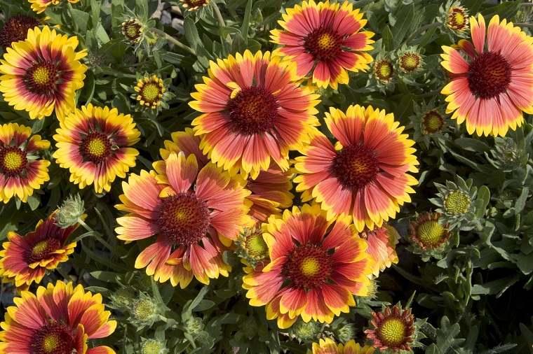 cultivo-flores-planta-Guiallardia-bella-flor-ideas