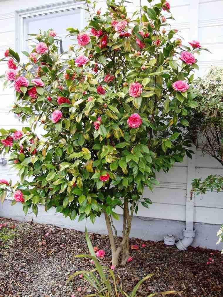 plantas-para-jardin-camelia-flores-bellas