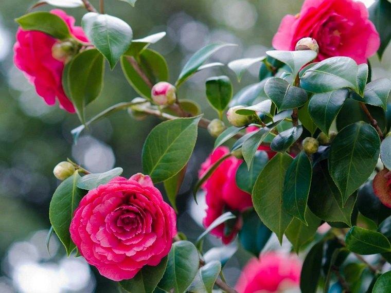 plantas-para-jardin-camelia-flores-ideas-cultivo