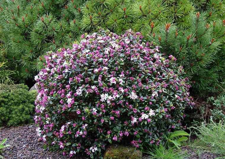 plantas para jardín-Daphne-arbusto-grande
