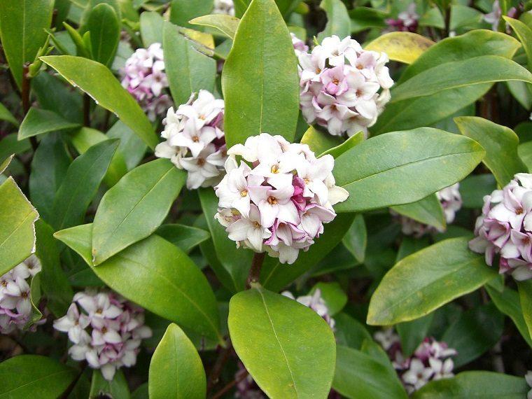 plantas para jardín-Daphne-opciones-estilo