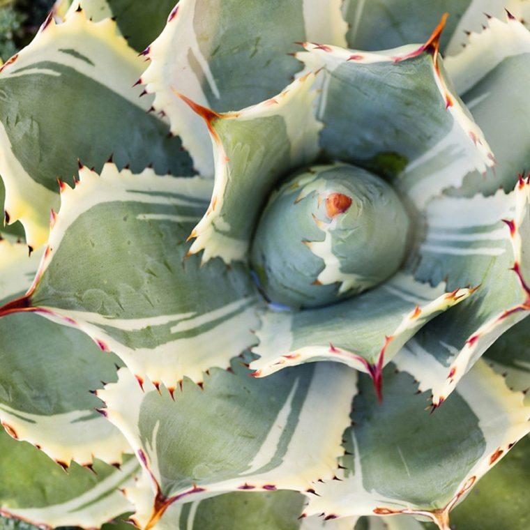 características de las plantas suculentas agave-variedad