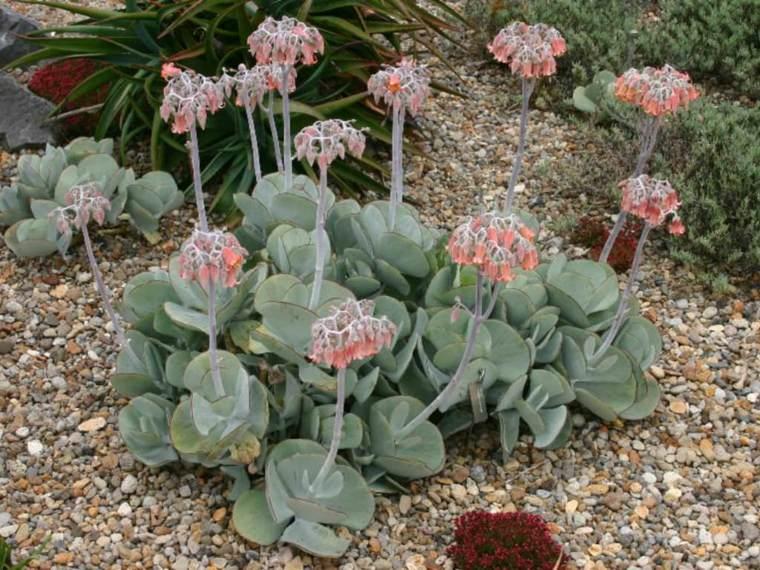 caracteristicas-de-las-plantas-suculentas-cotyledon-orbiculata-ideas