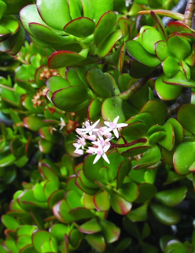 caracteristicas-de-las-plantas-suculentas-flores-blancas