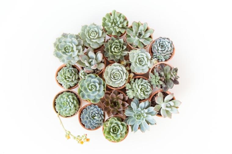 caracteristicas-de-las-plantas-suculentas-jardin-pequenas