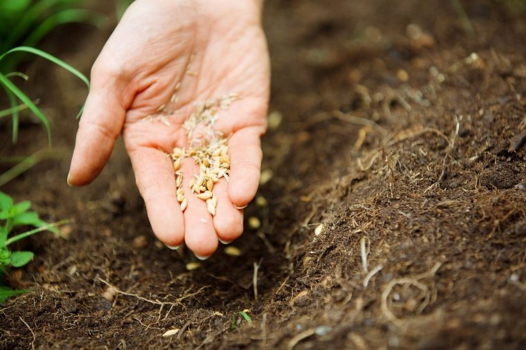 cultivo de cesped-semillas-cultivar-semillas-ideas