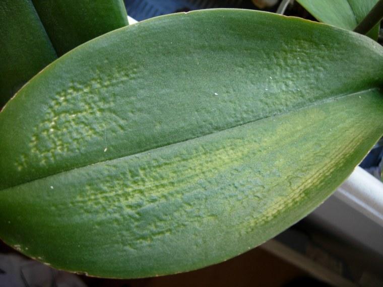 cuidado de orquideas-hojas-amarillentas