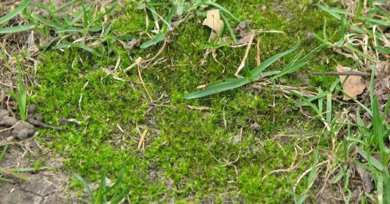 remove weeds from grass-moss