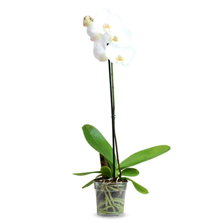 flor de orquidea-cuidado-tallo-casa