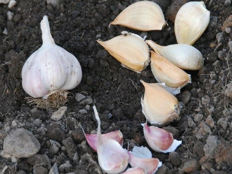 lista de verduras-plantar-facil-ajo