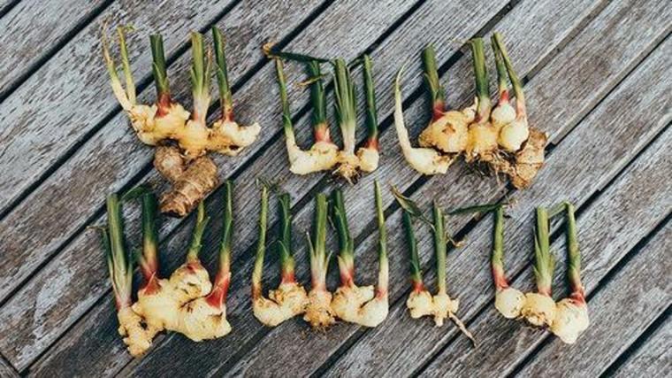 lista de verduras-plantar-raiz-jenjibre