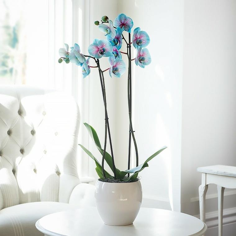 orquideas azules-cuidados-caseros