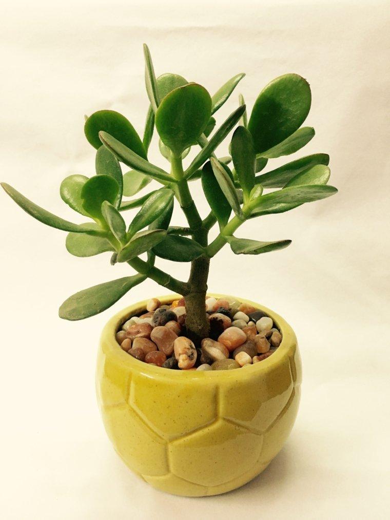 plantas-suculentas-caracteristicas-consejos-arbol-jade