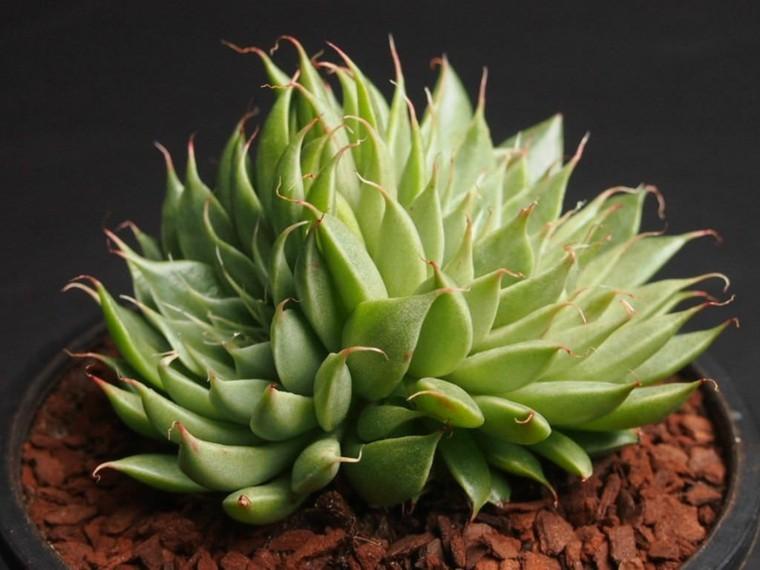 plantas-suculentas-caracteristicas-consejos-cultivo-interior