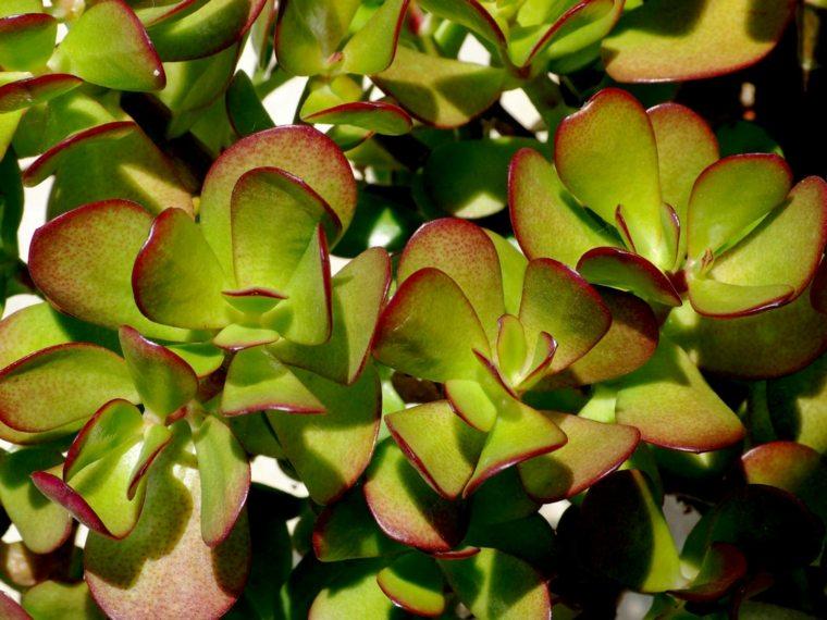 plantas-suculentas-caracteristicas-consejos-cultivo