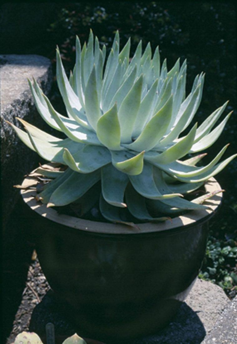 plantas-suculentas-caracteristicas-consejos-plantas-macetas-pequenas