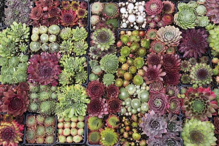 plantas-suculentas-caracteristicas-consejos-variedad