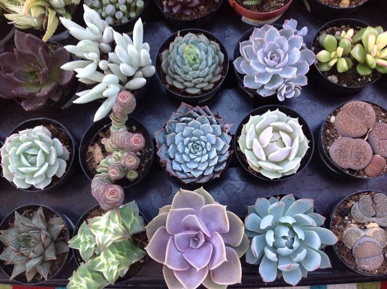 plantas suculentas-riego-consejos-ideas
