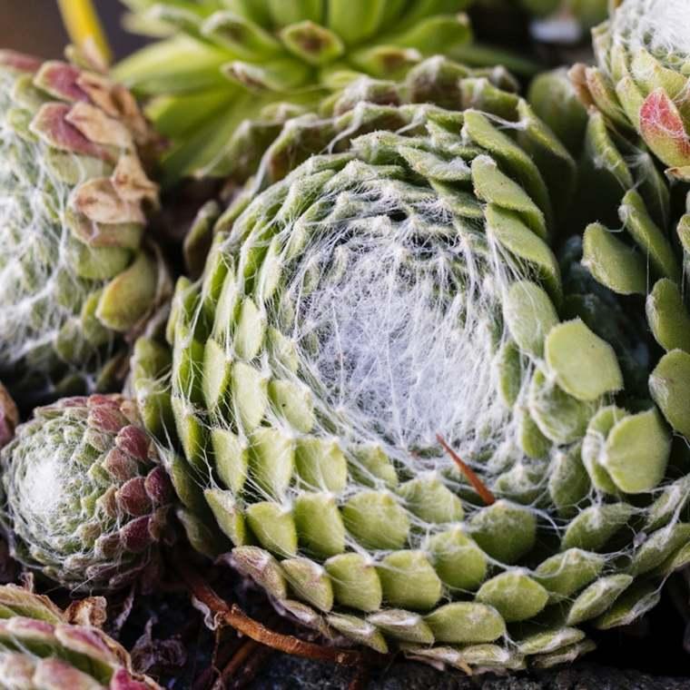 siemprevivas-suculentas-plantas-consejos