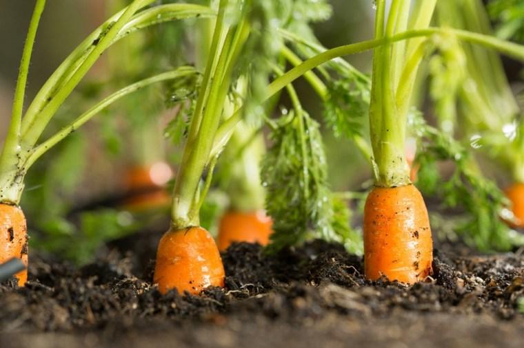 vitaminas de la zanahoria-plantada-casa