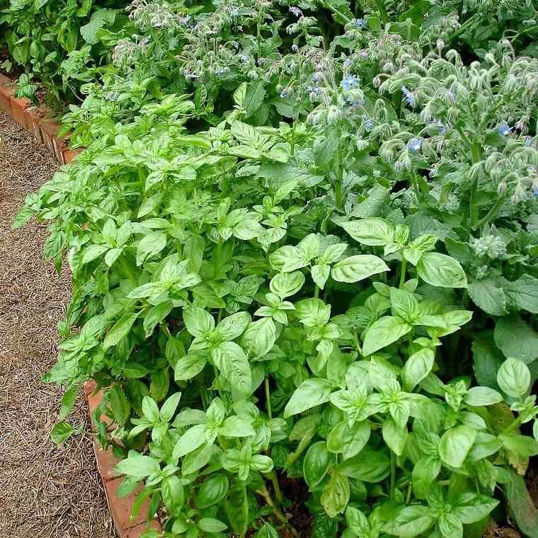 plantas-repeler-mosquitos-albahaca