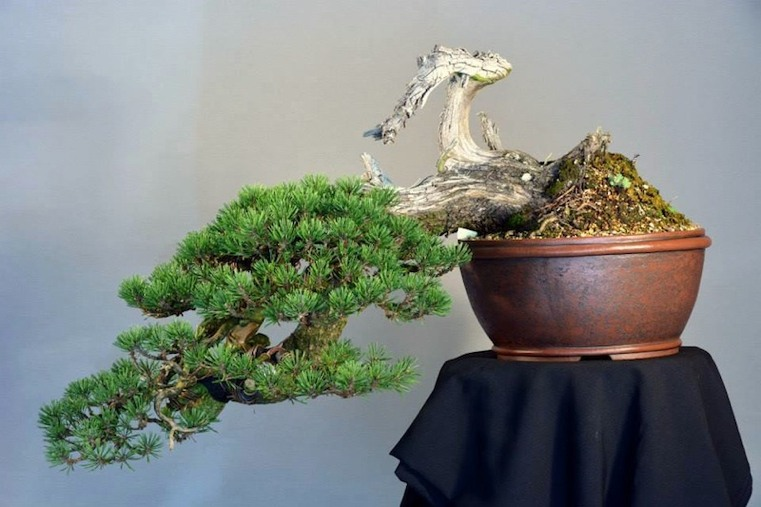 bonsai elegante formas frescas