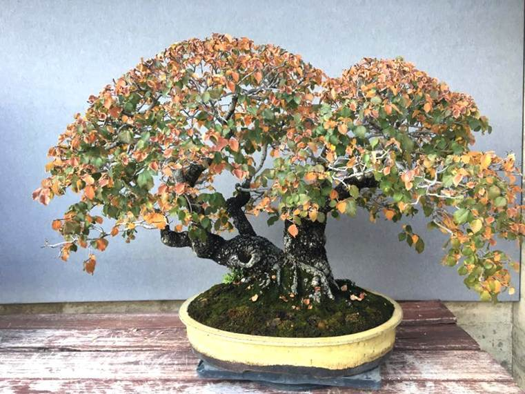 bonsai-maduro-cambio-color