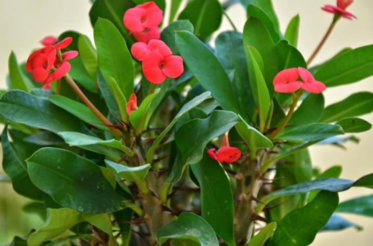 como cuidar las plantas-casa-espina-de-cristo