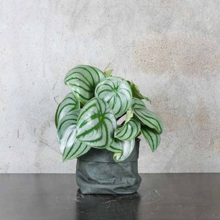 como cuidar las plantas-interiores-pepromia