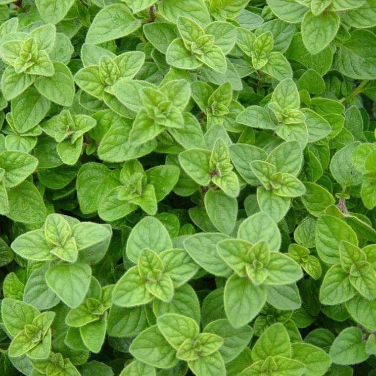hierbas-medicinales-consejos-salud-oregano