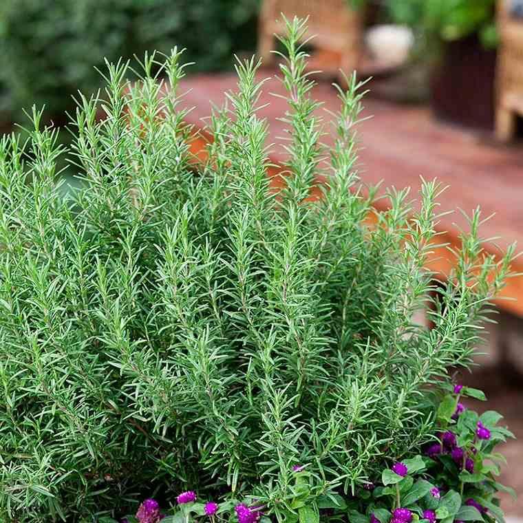 hierbas medicinales-salud-mental-romero