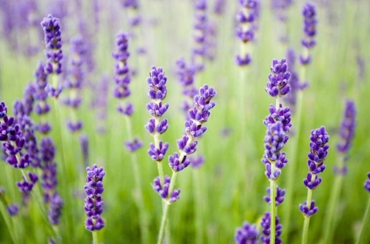 lavanda planta-consejos-ideas-color-purpura