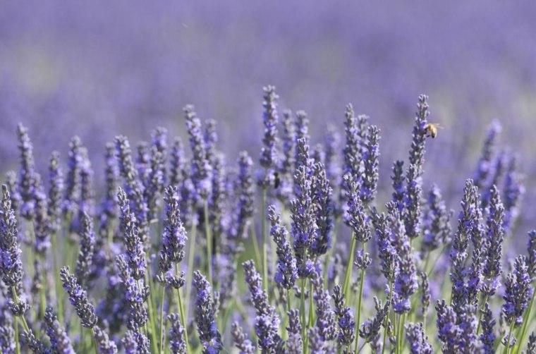 lavanda-planta-relajarante-olor-belleza