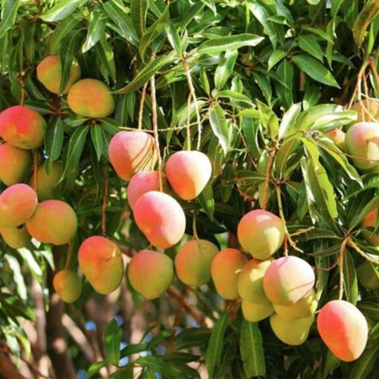 beneficios de ingerir mango