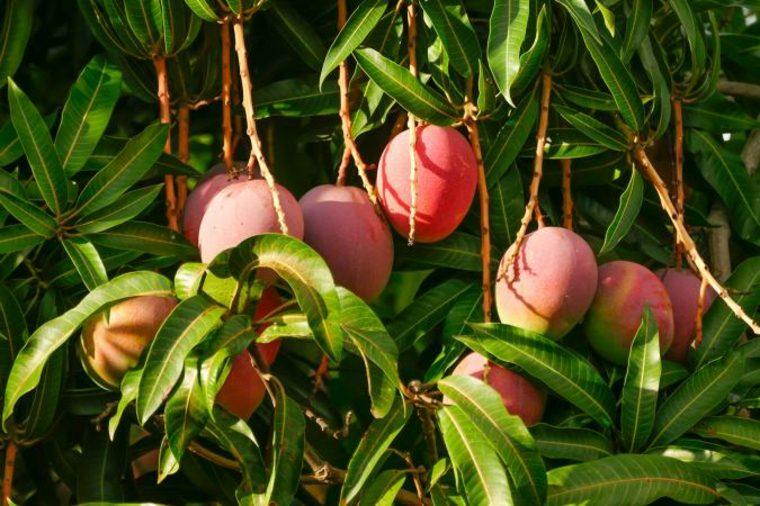 ingerir mangos